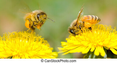 Two Bees and dandelion flower, series of dandelion.
