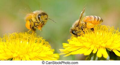 dos, abejas, diente de león, flor