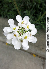 Evergreen candytuft or Perennial candytuft (Iberis...