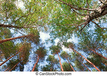 Trees and sky - A shot looking up at the sky in forest