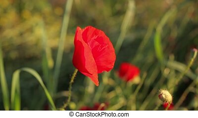 Close up of beautiful poppy flower