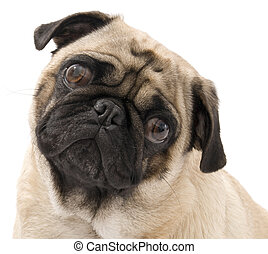 Pug - Isolated Pug with Cocked Head