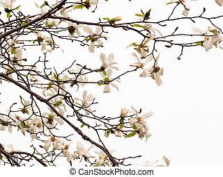 White flowering dogwood tree (Cornus florida) in bloom.