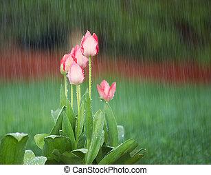 Blooming Flowers in Springtime Rain - Photo of blooming pink...