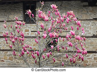 Magnolia - Beautiful pink Magnolia tree