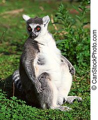 Lemur of ring-shaped tail taking up a curious pose