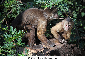 capuchin monkeys - mother capuchin monkey with young
