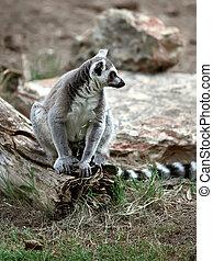 lemur - Ringtailed lemur (Lemur catta)