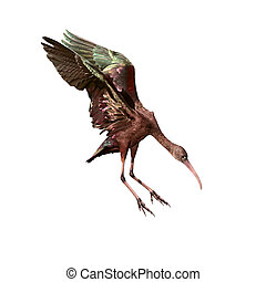Glossy Ibis - The Glossy Ibis Plegadis falcinellus isolated...