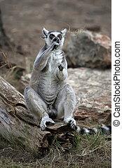 lemur - Ringtailed lemur Lemur catta