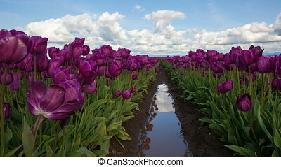 Purple Tulips Spring Season 1080p - Purple Tulips in Spring...