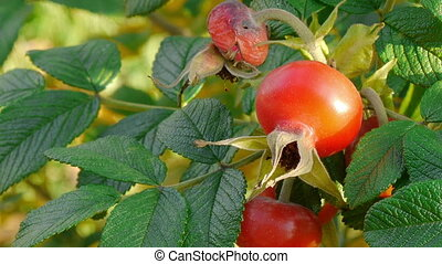 Autumn rosehip