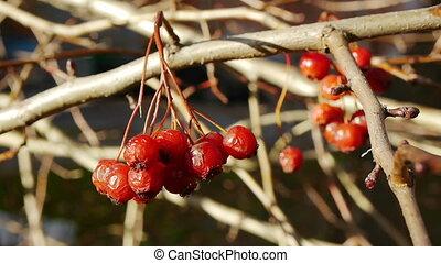 Haw berries - Cluster haw berries