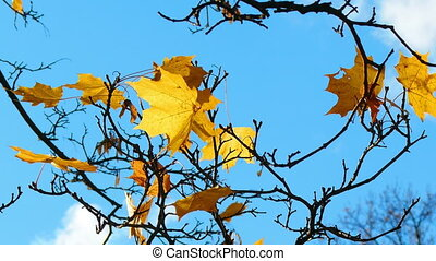 Autumn maple leaves on background of blue sky