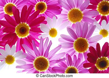 red and pink marguerites - beautiful colourful spring...