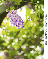 Wisteria sinensis - Beautiful Wisteria sinensis flowers...