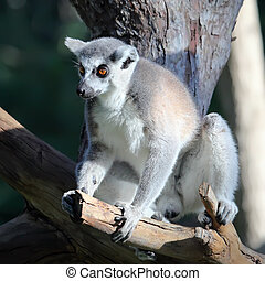 close-up of a ring-tailed lemur