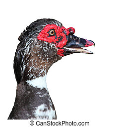 muscovy duck (Cairina moschata) on white background