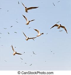 Flock of black headed seagulls on blue sky