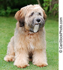 Tibetan terrier dog - Young brown tibetan terrier puppy