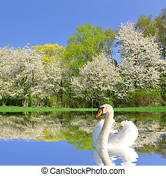 swan on water level - Spring landscape with swan on water...