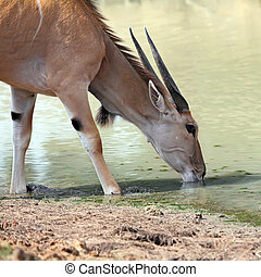 eland - A thirsty eland drinking at a waterhole