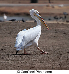 white pelican - Great white pelican