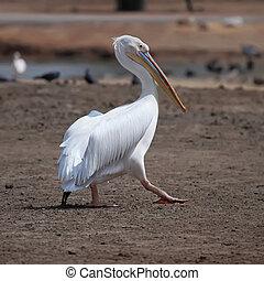 white pelican  - Great white pelican