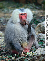baboon - Male baboon sitting on the ground