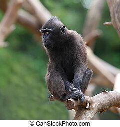 Black Macaque - Crested Black Macaque