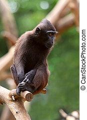 Black Macaque  - Crested Black Macaque (Macaca nigra)