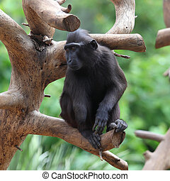 Black Macaque - Crested Black Macaque (Macaca nigra)