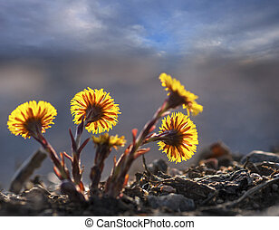 group of back lit coltsfoot - Close up of group of back lit...