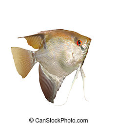 Angelfish (Pterophyllum scalare) isolated on white...