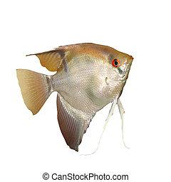 Angelfish (Pterophyllum scalare) isolated on white...