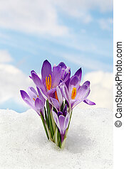 Sky flower, crocus and snow