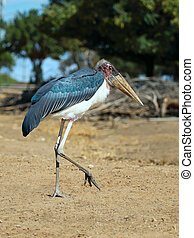 Marabou Stork - Close up of a Marabou Stork Leptoptilos...