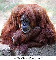 Orangutan  in a zoo