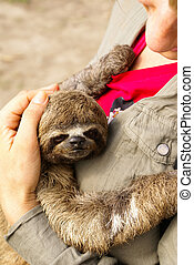 Three-toed sloth in the Iquitos, Peru