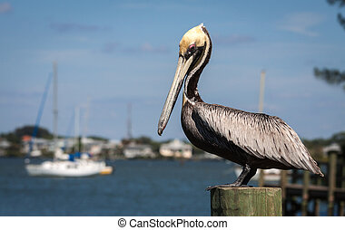 Pelican in late spring at SW Florida