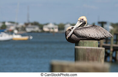 Pelican - pelican on a pier post in South West Florida