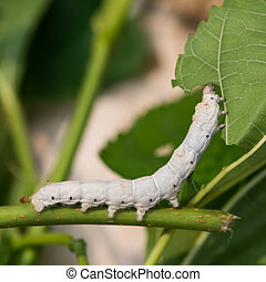 Silkworm - Close up Silkworm eating mulberry green leaf