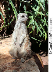 suricata  - Portrait of a standing suricate on the stone