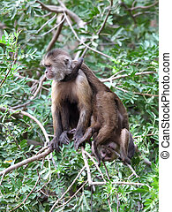 capuchin monkeys - mother capuchin monkey with young sitting...
