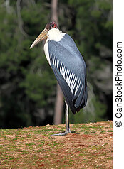 Marabou Stork  - Close up of a Marabou Stork