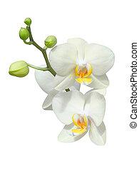 branca, orquídeas
