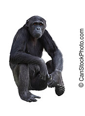 Chimpanzee on a white background