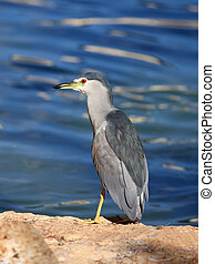 Night-Heron - Black-Crowned Night-Heron