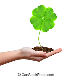 Green clover leaf in hand isolated on white background