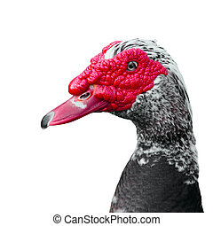 Muscovy Duck - muscovy duck Cairina moschata on white...